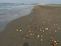 Adana'da yüzlerce soğan sahile vurdu