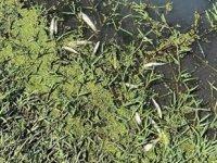 Simav Çayı'nda kimyasal atıklardan balıklar telef oldu