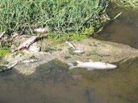 Yatağan Çayı'ndaki toplu balık ölümleri korkuttu