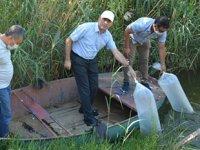 Aydın'da su kaynaklarına 91 bin balık bırakıldı