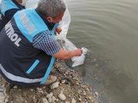 Denizli'de 117 bin yavru sazan balığı suya bırakıldı
