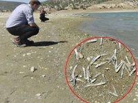 Barajda sular çekildi, binlerce balık sıcaktan öldü