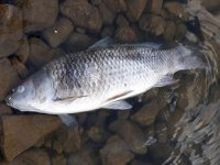 Nevşehir Yalıntaş Göleti'nde toplu balık ölümleri yaşanıyor