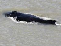 Avustralya'da dev balinalar yanlışlıkla timsahlarla dolu nehre girdi