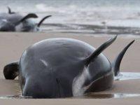 Avustralya'da kıyıya vuran 90 balina öldü