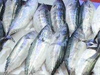Ordu'da tezgahları palamut balığı süslüyor