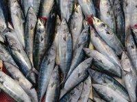 Karadeniz'deki palamut bereketi balık fiyatlarını düşürdü