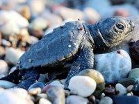 Kemer'de 3 bin caretta caretta yavrusu denizle buluştu