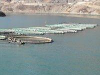 Borçka Barajı'nda üretilen Türk somonları dünyaya ihraç ediliyor