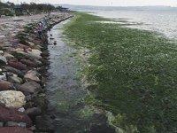 İzmir'de korkutan görüntü! Sahil 'deniz marulu' doldu!