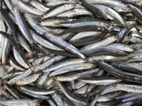 Batı Karadenizli balıkçılar, hamsiden umutlu görünüyor