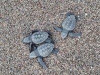 Antalya'da 204 bin 591 deniz kaplumbağası denizle buluştu