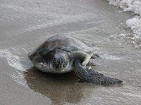 3 aydır tedavi gören deniz kaplumbağası suyla buluştu