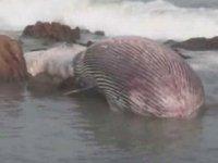 Tayland'da 11 metrelik bryde balinası kıyıya vurdu