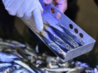 Tuzla'da balık tezgâhlarında hamsi boyu denetimi gerçekleştirildi