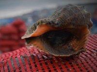 Samsun'dan Uzakdoğu ve Arabistan yarımadasına deniz salyangozu ihracatı gerçekleştirildi