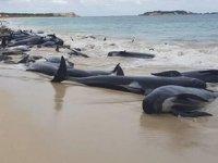 Yeni Zelanda'da kıyıya vuran 40 pilot balina kurtarıldı