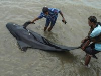 Endonezya'da karaya vuran 52 kısa yüzgeçli pilot balina öldü