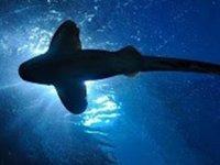 Yeni Zelanda'da ışık saçan dev köpek balığı keşfedildi