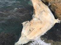 Kıyıya vuran balina, Deniz Müzesi'nde sergilenecek