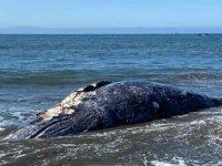ABD'de 8 gün içinde 4 adet gri balina ölüsü bulundu