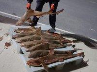 Yasa dışı avlanan köpekbalıklarına el konuldu