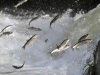 Van Gölü'ndeki inci kefalleri üreme döneminde sıkı önlemlerle korunacak