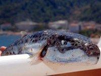 Lara sahilinde görülen zehirli balon balıkları tedirgin etti