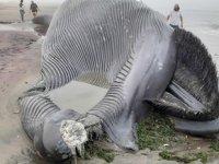 Antarktika'da yaşayan balina Afrika'da karaya vurdu