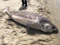 Kuşadası'nda köpek balığı ölüsü kıyıya vurdu
