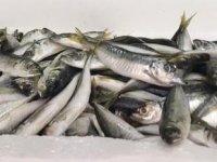 İstavrit, balıkçıların yüzünü güldürdü