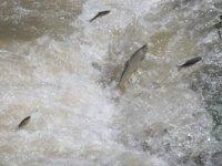 Tatlı su kefalleri ölüm göçüne başladı