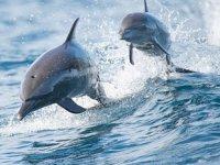 Akdeniz ile Karadeniz'in balina ve yunus popülasyonu ortaya çıktı