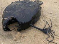 4 bin metre derinlikte yaşayan Pasifik futbol topu balığı kıyıya vurdu