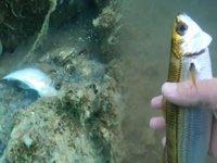 Deniz salyası, su altı yaşamını yok ediyor