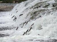 İnci kefallerinin göç yolculuğu sürüyor