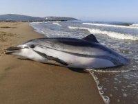 Pamucak sahilinde çizgili yunus ölüsü kıyıya vurdu