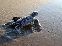 Antalya'da 204 bin caretta denizle buluşturuldu