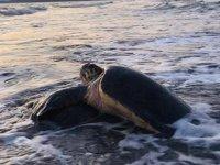 Carettalar, Antalya Körfezi'ni denizanası istilasından koruyor