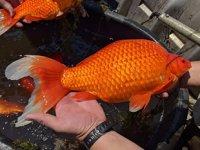 Japon balıklarını göle bırakmama çağrısı yapıldı