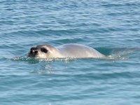 Dünyada en çok fok Yunanistan ile Türkiye kıyılarında yaşıyor