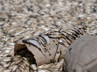 May Barajı'nda binlerce balık telef oldu