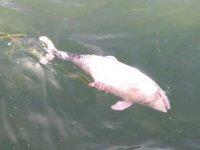 Tarabya'da ölü yavru yunus kıyıya vurdu