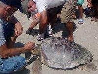 Kuşadası'nda ölü deniz kaplumbağaları kıyıya vurdu