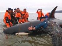 Rusya'da kıyıya vuran yavru katil balina halatlarla kurtarıldı