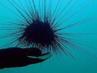 Uzun dikenli deniz kestanesi, Akdeniz ve Ege kıyılarında hızla yayılıyor