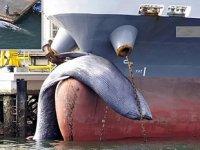 Japonya'da tankerin bulb'ına 10 metrelik balina takıldı
