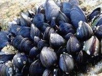 Marmara Denizi'nin temizliği için 45 ton midye yetiştirilecek