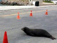 Bodrum'da yolda Akdeniz foku görenler şaşkına döndü