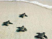 Aşışığı plajında 4 yıl aradan sonra ilk caretta caretta yuvası